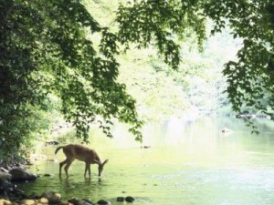 https://swimthedeepend.files.wordpress.com/2011/01/john-dominis-lone-white-tailed-deer-drinking-water-from-banks-of-cheat-river.jpg?w=300